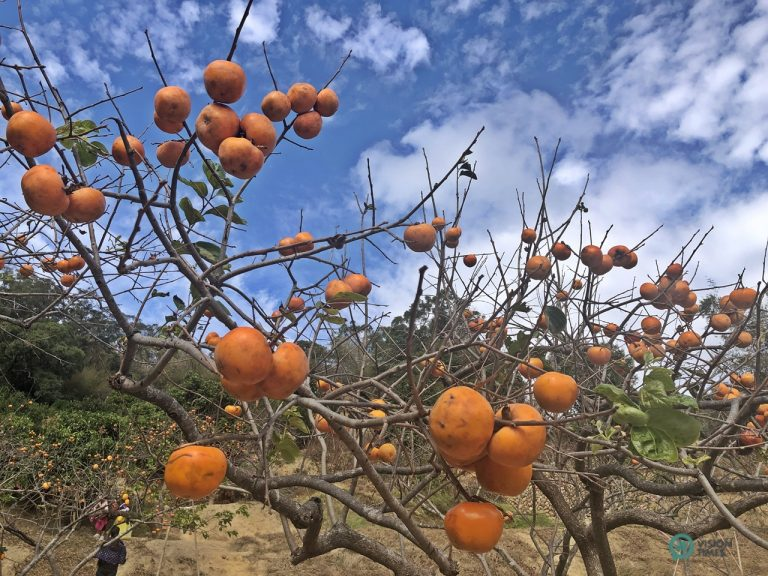 Weiweijia Persimmon leisure farm is one of the major orchards in the township.